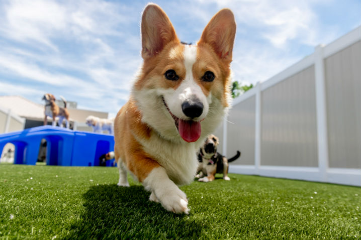 Corgi on grass running towards camera
